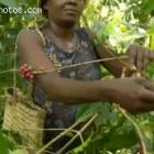 Harvesting Haitian Coffee