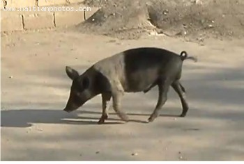 Haitian Black Pig was the Haitian farmer investment