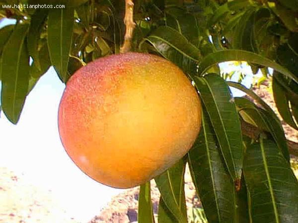 Organic Mango From Haiti