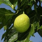 Picture Of Breadfruit