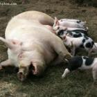 The Pig that was to replace Haitian Pig