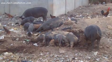 The Haitian Creole Pig