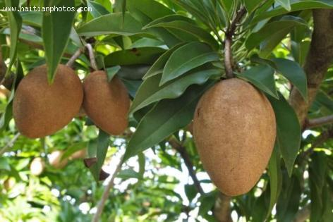 Sapodilla Fruit in Boucan Carre, Haiti