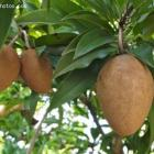 Sapodilla Fruit in Boucan Carre, Haiti