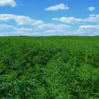 Three marijuana fields found near Belle-Anse Jacmel, village Bois-Kodenn