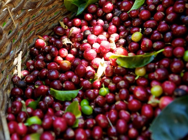 Coffee Growers in Haiti and Climate Change