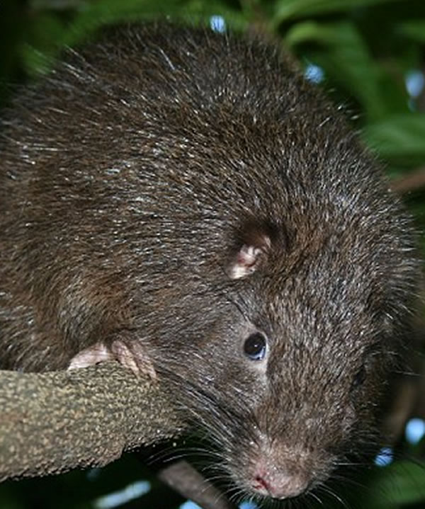 Rodent in Haiti named James Bond's hutia or Plagiodontia aedium bondi