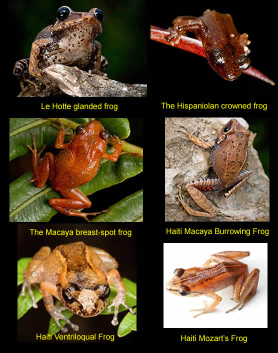 six long lost species of frogs found in Haiti