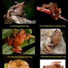 six long lost species frogs found