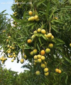 Haitian Mango - Haitian Food