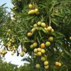 Haitian Mango Haitian Food