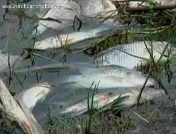Dead Fish In Lake Azuei