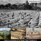 The production of Sisal in Haiti