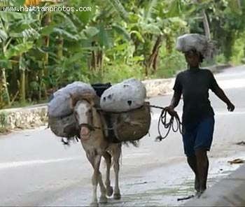 Transportation In Haiti Using Donkey