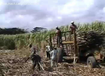 Haitians Loading Truck With Sugar Cane In The Dominican Republic