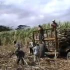 Haitians Loading Truck Sugar Cane